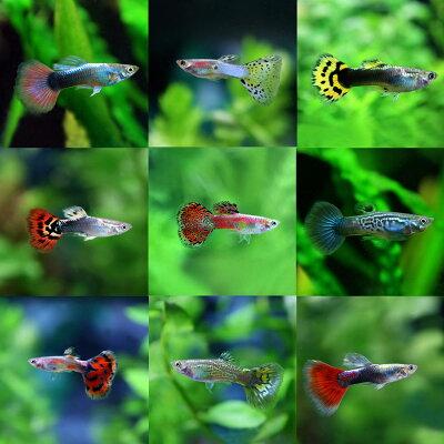 ミックスグッピー(外産)(約3cm)<5ペアー>【熱帯魚】