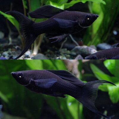 熱帯魚ブラックライヤーモーリー(約4cm)<6匹>