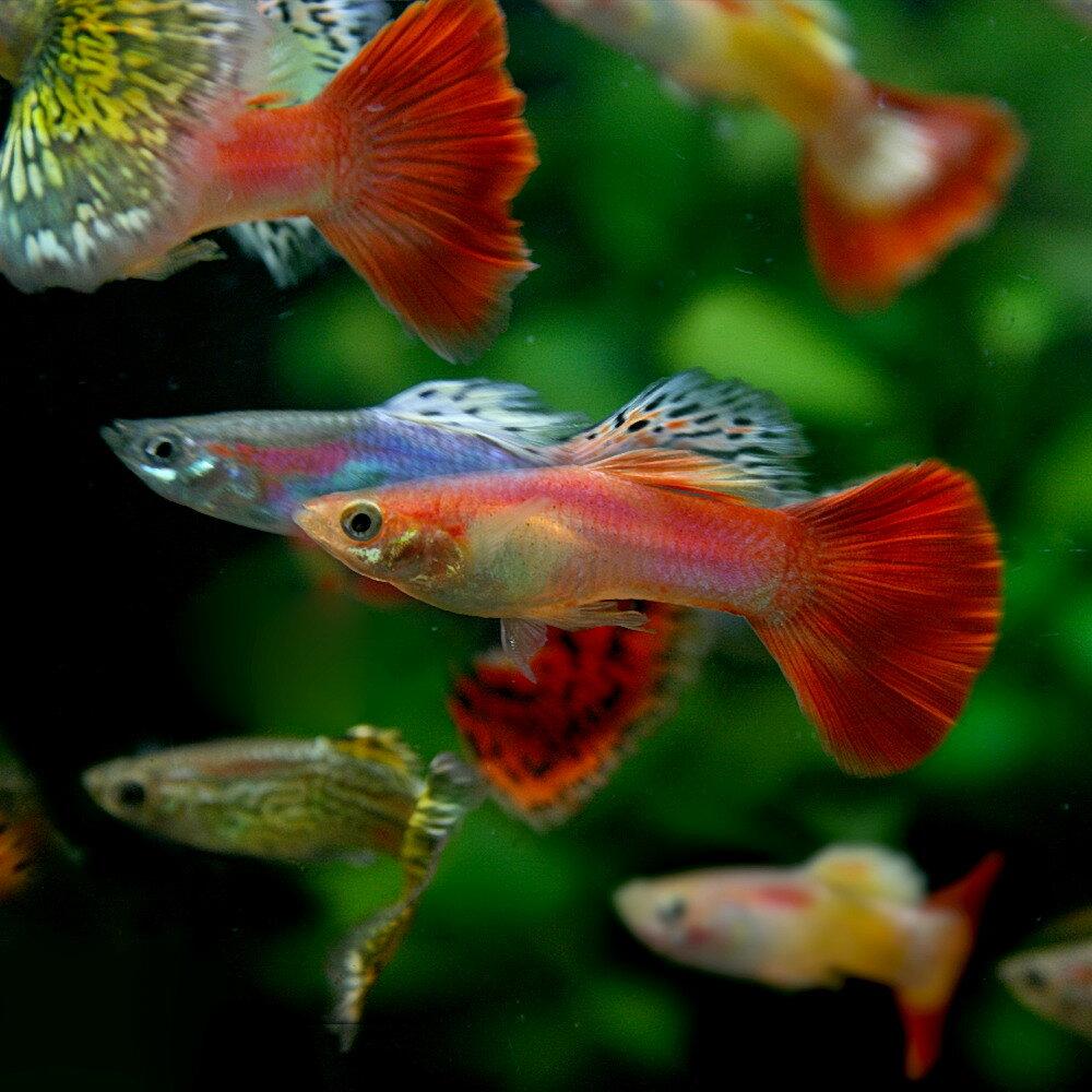 (スーパーセール)(熱帯魚)ミックスグッピー (外国産) (約3cm)(10ペア)【水槽/熱帯魚/観賞魚/飼育】【生体】【通販/販売】【アクアリウム】