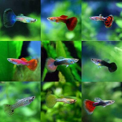 熱帯魚ミックスグッピー(外産)(約3cm)<10ペアー>