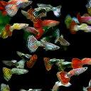 (熱帯魚 生体)( オススメ)ミックスグッピー (外国産)(約3cm)(100ペア)【水槽/熱帯魚/観賞魚/飼育】【生体】【通販/販売】【アクア…