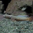 (熱帯魚 生体) レインボースネークヘッド(約5-7cm)(1匹)【水槽/熱帯魚/観賞魚/飼育】【生体】【通販/販売】【アクアリウム/あくあ…