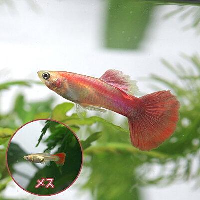 熱帯魚フラミンゴグッピー(外産)(約3cm)<3ペアー>