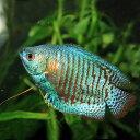 (熱帯魚)ネオンドワーフグラミー (約4cm)(1ペア)【水槽/熱帯魚/観賞魚/飼育】【生体】【通販/販売】【アクアリウム】