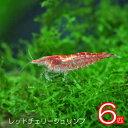 (スーパーセール)(エビ)レッドチェリーシュリンプ(約1.5cm)(6匹)【水槽/熱帯魚/観賞魚/飼育】【生体】【通販/販売】【アクアリウ…