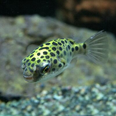 熱帯魚ミドリフグ(約3cm)<5匹>
