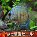 (感謝セール)(熱帯魚 生体)マリンブルーディスカス(タイ産)(約5cm)(1匹)【水槽/熱帯魚/観賞魚/飼育】【通販/販売】【アクアリウ…