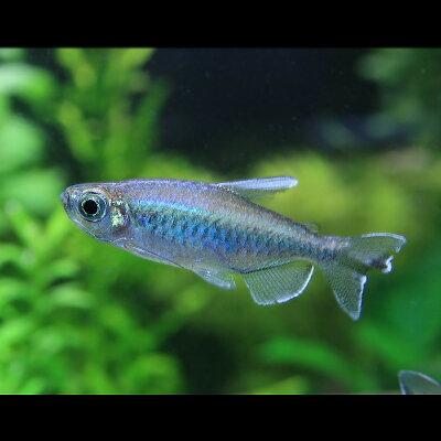 コンゴーテトラ(約4cm)<3匹>【熱帯魚】