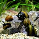 (貝)カラーサザエ石巻貝(約1cm)(3匹)【水槽/熱帯魚/観賞魚/飼育】【生体】【通販/販売】【アクアリウム/あくあり…