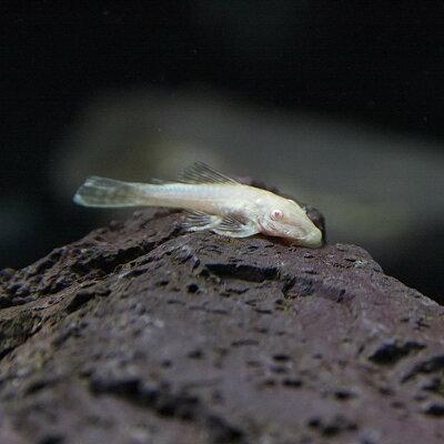 熱帯魚プレコアルビノミニブッシープレコ(約2-3cm)<3匹>