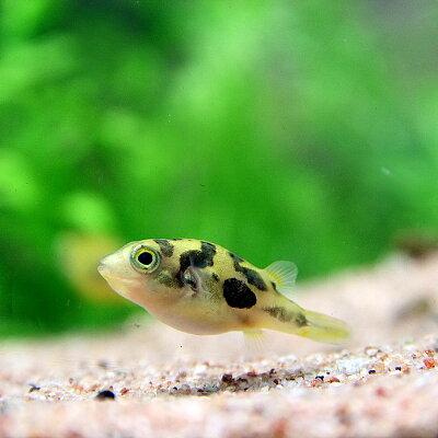 熱帯魚アベニーパファー(約2cm)<5匹>