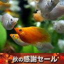 (延長セール)(熱帯魚 生体)ミックスバルーンモーリー(約2-3cm)(4匹)【水槽/熱帯魚/観賞魚/飼育】【通販/販売】【アクアリウム】