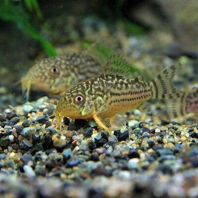 コリドラスステルバイ【ブリード】(約3cm)<1匹>【熱帯魚】