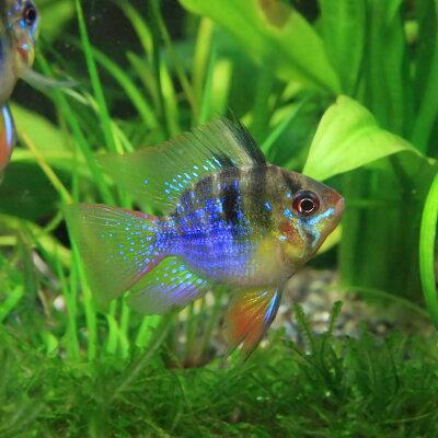 熱帯魚バルーンラミレジィ(約3cm)<1匹>
