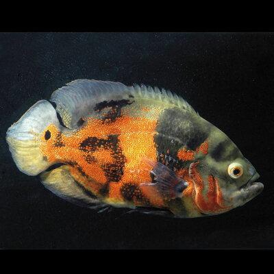 熱帯魚タイガーオスカー(約5cm)<1匹>