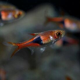 (熱帯魚)ラスボラ ヘテロモルファ(約1.5-2cm)(10匹)【水槽/熱帯魚/観賞魚/飼育】【生体】【通販/販売】【アクアリウム/あくありうむ】