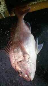 【天然マダイ 】釣りたてマダイ、むつ湾産 当日発送 2,5から3K LLサイズ。冬場は時化が多く5月〜11月いっぱいは釣行確率が安定してきます