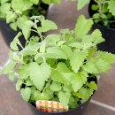 みっちゃんホンポキャットニップ直径13cm鉢(3〜4株植え)1個