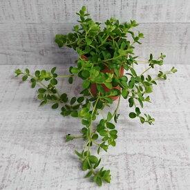 \0のつく日はポイントUP!/ミニ 観葉植物 ペペロミア デピーナ 2号 小さい かわいい おしゃれ インテリア グリーン 卓上 棚 室内 苗 ギフト プレゼント 贈り物