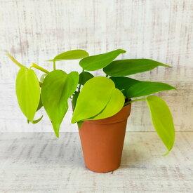 ミニ 観葉植物 オキシカルジウム ライム 2号 小さい かわいい おしゃれ インテリア グリーン 卓上 棚 室内 苗 ギフト プレゼント 贈り物