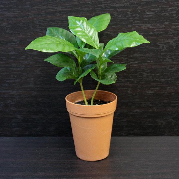 【ポイント10倍】コーヒーノキ(コーヒーの木)【観葉植物2号ロング】