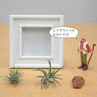 エアプランツ・アートフレーム/卓上/壁掛け/観葉植物
