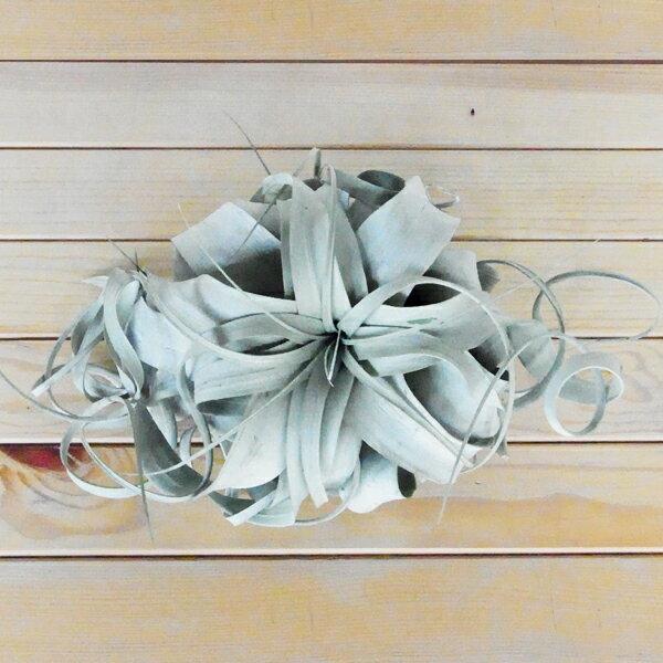 【ポイント5倍】【 エアプランツ 】 キセログラフィカ M サイズエアープランツ チランジア インテリア 植物 ハンギング 壁掛け プレゼント ギフト ラッピング アレンジメント 飾り