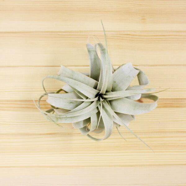 【ポイント10倍】【 エアプランツ 】 キセログラフィカ XS サイズエアープランツ チランジア インテリア 植物 ハンギング 壁掛け プレゼント ギフト ラッピング アレンジメント 飾り