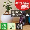【ポイント10倍】ガジュマル ラウンド陶器鉢 ガジュマルの木 がじゅまる 観葉植物 【沖縄・離島は別途送料】