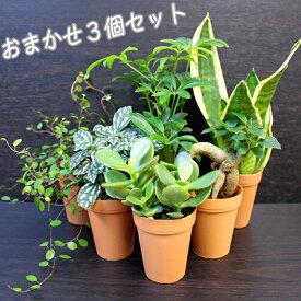 【ポイント5倍】おまかせ観葉植物3個セット【観葉植物2号ロング】鉢カバー3個付