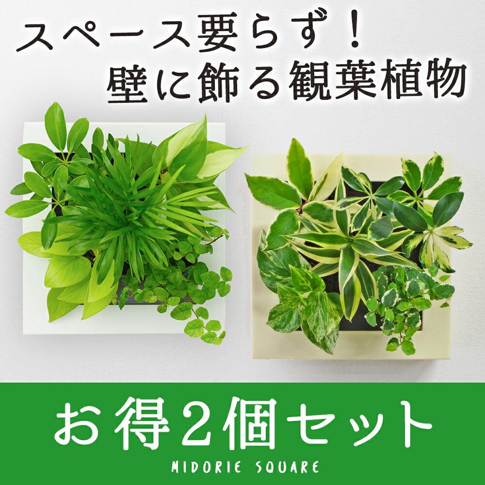 【midorie 5%オフ】ミドリエ スクエアフレーム 2個セット/全4色5タイプ【壁掛け観葉植物】【ギフト/プレゼント】