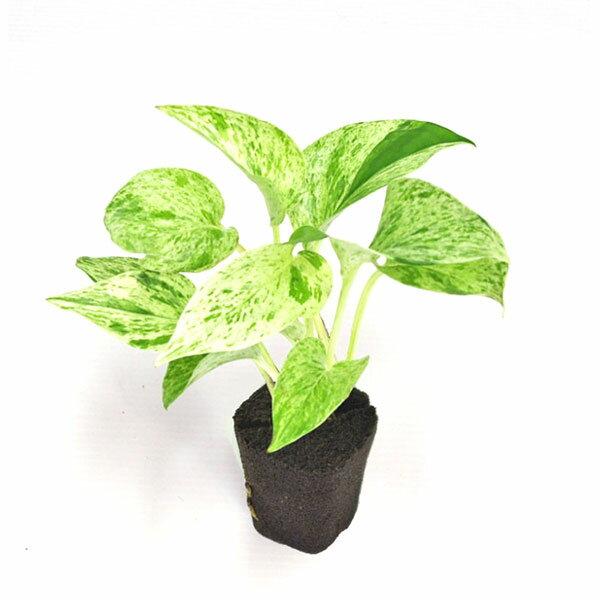 【ポイント5倍】【midorie】ミドリエ交換用苗-ポトス・マーブル【壁掛け観葉植物】