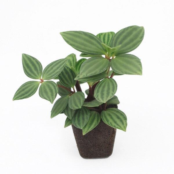 【ポイント5倍】【midorie】ミドリエ交換用苗-ペペロミア・プテオラータ【壁掛け観葉植物】