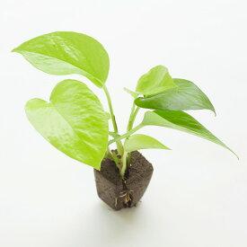【midorie】ミドリエ交換用苗-ポトスライム【壁掛け観葉植物】