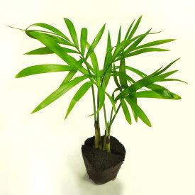 ミドリエ 苗 テーブルヤシ 壁掛け 観葉 植物 吊り下げ ハンギング おしゃれ 寄せ植え グリーン ボタニカル ギフト ラッピング アレンジメント 飾り