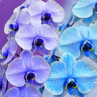 カラー胡蝶蘭2本立