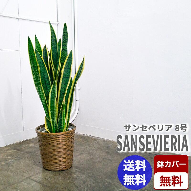 【当店オススメ】サンセベリア【8号鉢】☆全国送料無料☆☆☆