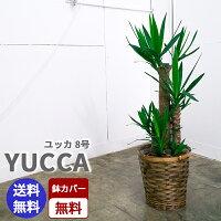 ユッカ【8号鉢】