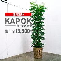 カポック【10号鉢】