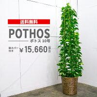 ポトス【10号鉢】