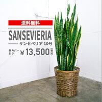 サンセベリア【10号鉢】