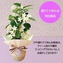【ポイント5倍】【遅れてごめんね】 母の日ギフト 送料無料 フラアート花門 つるバラ 鉢植え 「真珠貝」 マダガスカル…