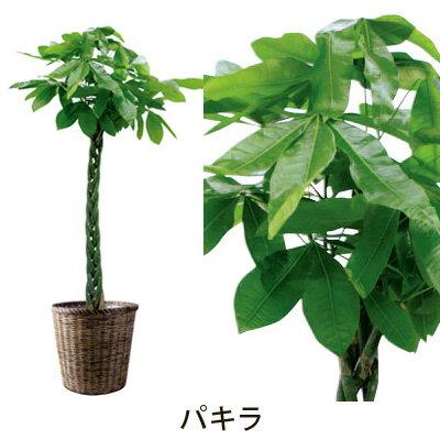 【フラアート花門】観葉植物・大鉢 15,000円【送料無料】