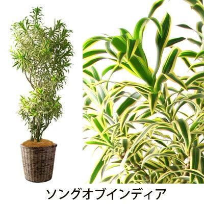 【フラアート花門】観葉植物・大鉢 20,000円【送料無料】