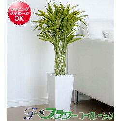 観葉植物萬年竹(ミリオンバンブー)ロングスクエア陶器鉢植え