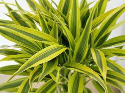観葉植物萬年竹(ミリオンバンブー)ロングスクエア陶器鉢植え葉の拡大