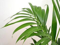 観葉植物ケンチャヤシスクエア陶器鉢植え8号サイズ葉の拡大