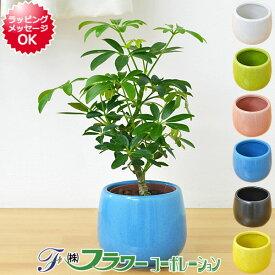 【送料無料】ミニ観葉植物 ホンコンカポック(シェフレラ)陶器鉢付き(ハイドロカルチャー)
