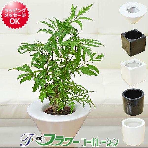 【送料無料】ミニ観葉植物 ポリシャス ハイドロカルチャースタイリッシュ陶器鉢付き