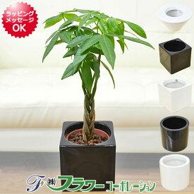 【送料無料】ミニ観葉植物 編み込みパキラ ハイドロカルチャースタイリッシュ陶器鉢付き